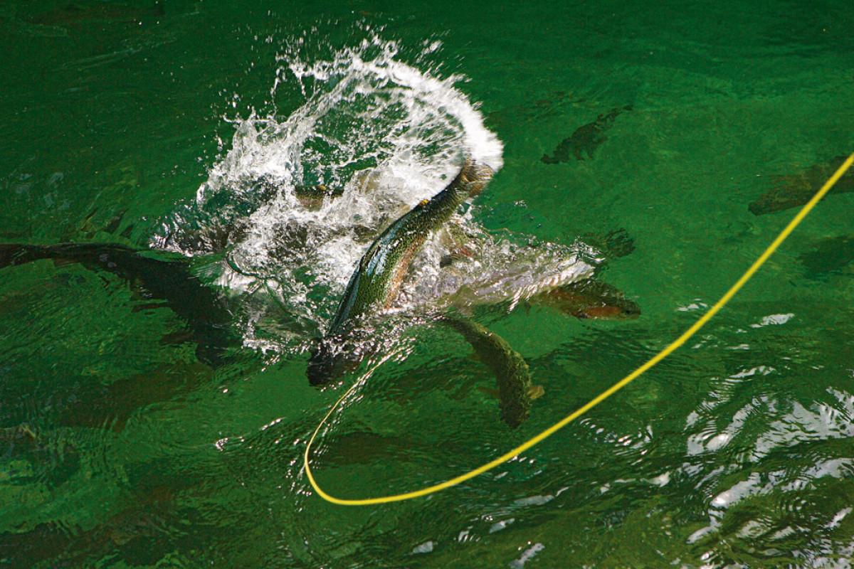 Forellenangeln an der Oberfläche ist spannungsgeladen und in der richtigen Jahreszeit auch sehr erfolgreich. Foto: BLINKER