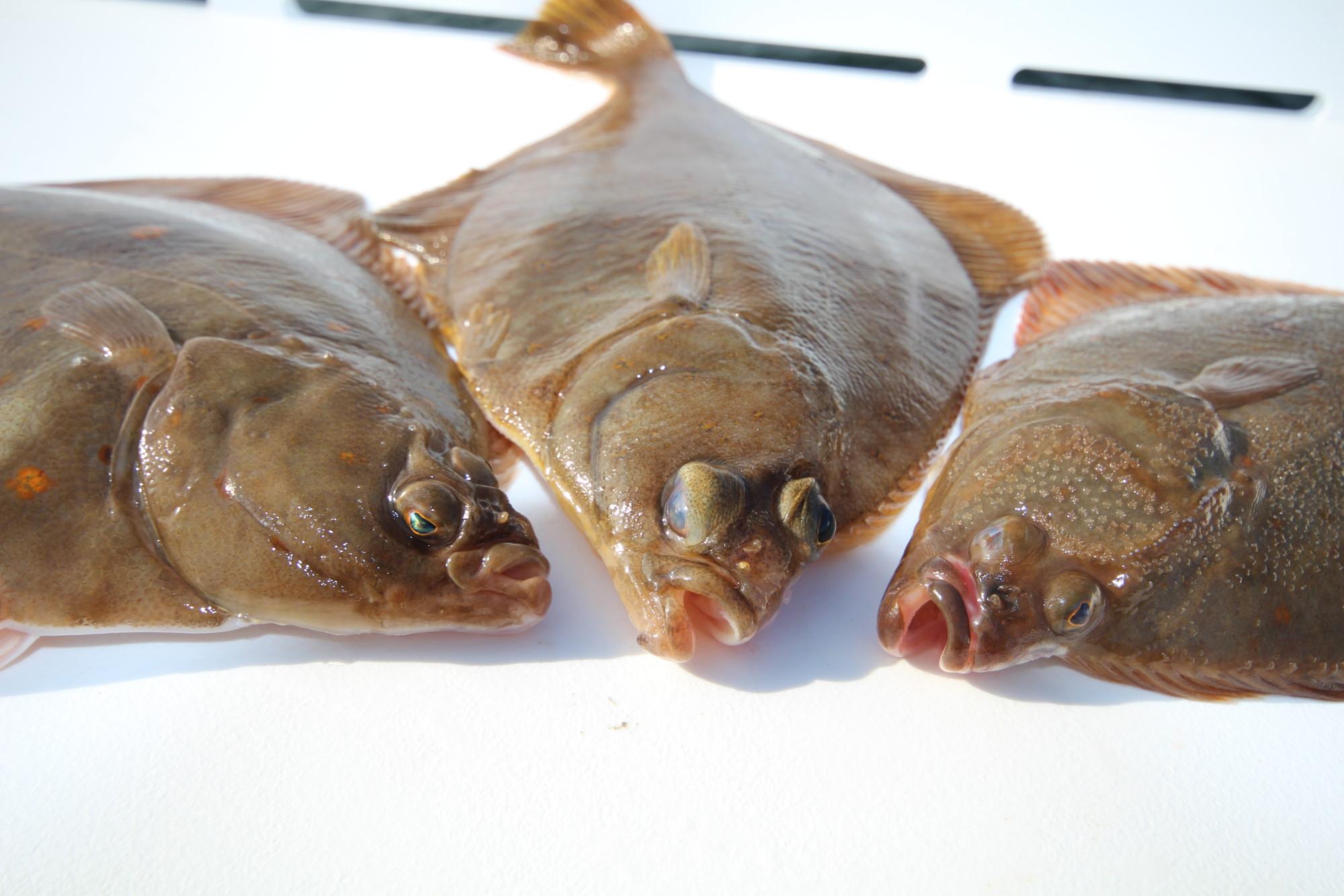 Who is who? Plattfische auseinander halten ist nicht ganz einfach … Hier Scholle, Kliesche und Flunder von links nach rechts.