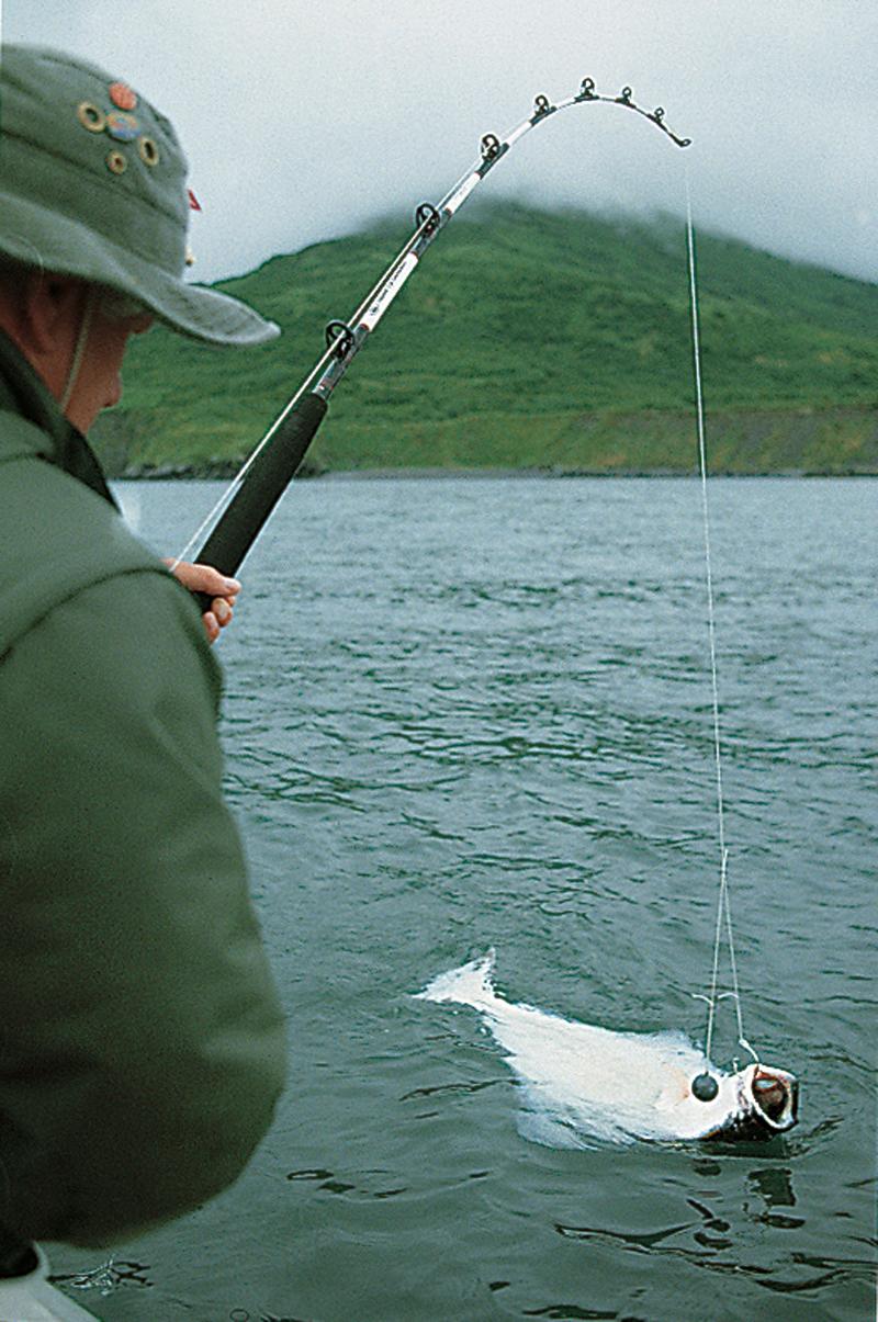 Dieser Butt nahm den Köder an der Grundmontage. Die riesigen Fische beißen oft erstaunlich vorsichtig. Foto: Blinker