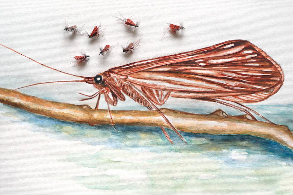 """Die Köcherfliege, auch """"Sedge"""" oder """"Caddis"""" genannt, ist im Sommer eine der besten Fliegen, um Forellen und Äschen zu fangen."""