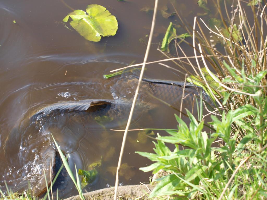 Karpfen in der Laichzeit - Wenn die Karpfen am laichen sind, ziehen sie an den Uferbereichen entlang und veranstalten ein großes Spektakel. Dann stellen sie das Fressverhalten ein. Foto: A. Pawalitzki