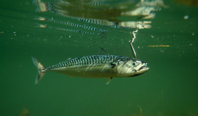 Makrelenangeln Makrele