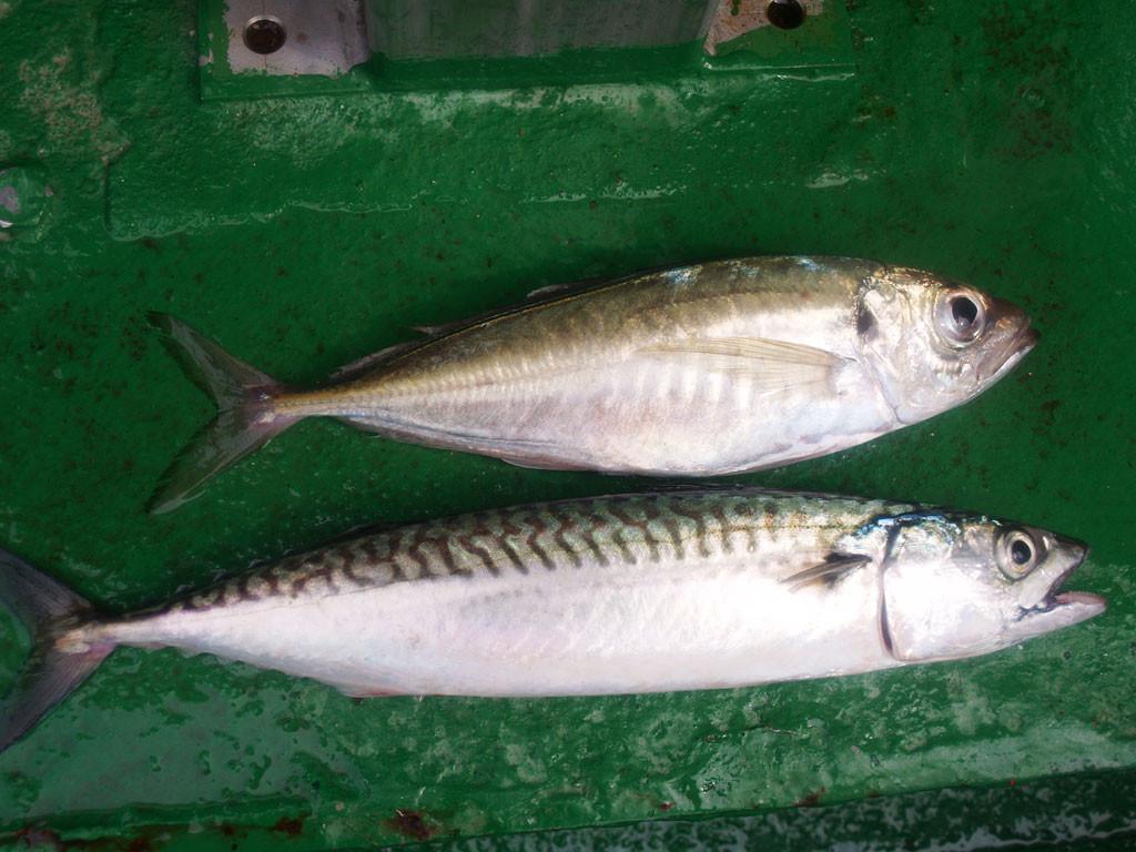 Der Zweitfisch bei der Makrelenangelei ist der Stöcker (oben). Er gehört zu den Stachelmakrelen und damit – anders als die Makrele – tatsächlich in die Unterfamilie der Echten Barsche! Foto: blinker