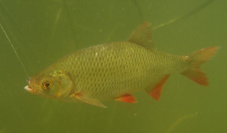 Rotfedern gehören zu den schönsten Fischen unserer Gewässer. Foto: O. Portrat