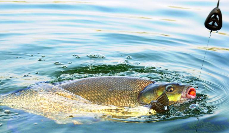 Brassen angeln mit dem Method – Großbrassen im Drill