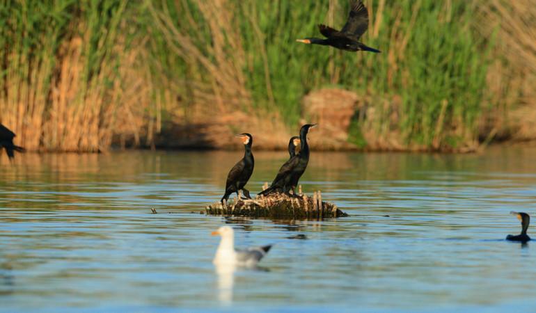 Zwei Kormorane sitzen auf einem Stück Treibholz auf dem Wasser