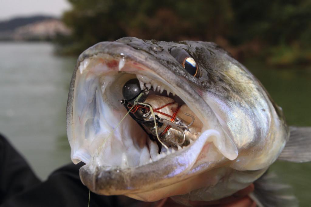 Köderfischmontage Zander: Drachkovitch-System