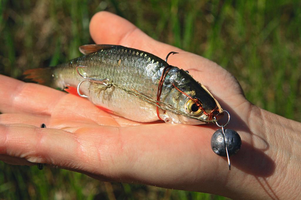 Köderfischmontage für Zander am Drachkovitch System