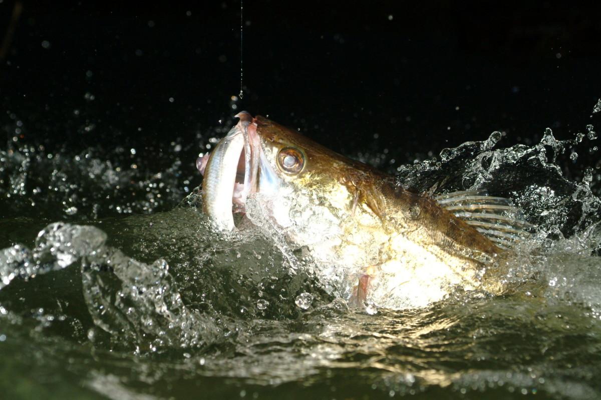 Die richtige Köderfischmontage für Zander brachte einen schönen Fisch.