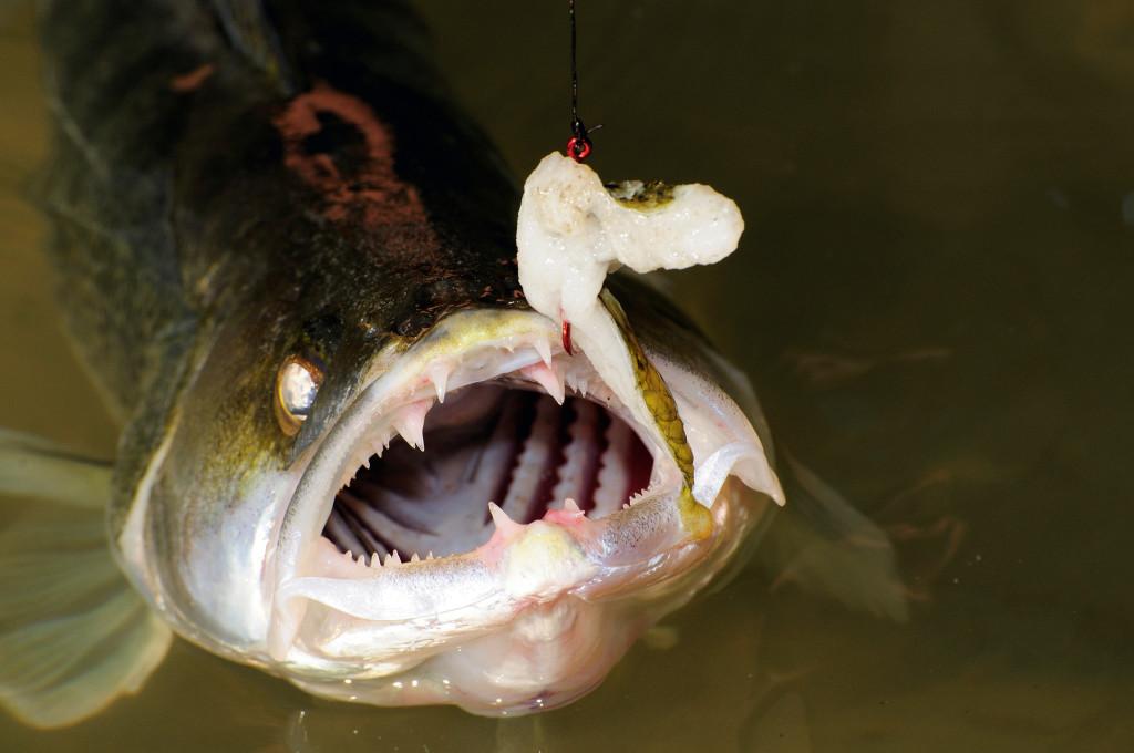 Zanderangeln mit der Pose und Fischfetzen