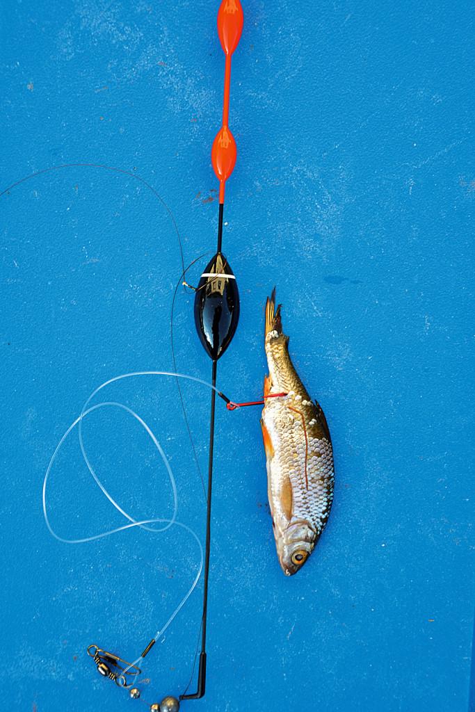 Mit Köderfisch auf Zander. so sieht die Montage aus