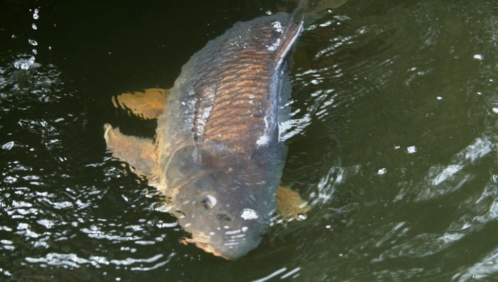 Angeln im Balaton: Rekordkarpfen gefangen