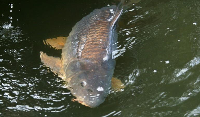 Beim Angeln im Balaton ging ein Rekordkarpfen zwei Angler an den Haken.