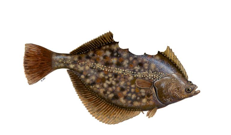 Ein Angler machte vor der Ostküste der Vereinigen Staaten einen kuriosen Fang: Ihm ging eine angefressene Sommer-Flunder an den Haken.