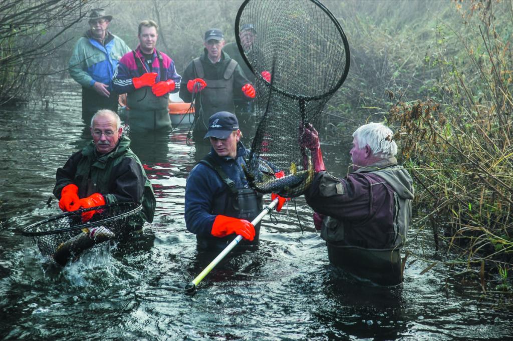 Fang von laichreifen Meerforellen in Dänemark, hier wird die Au befischt.