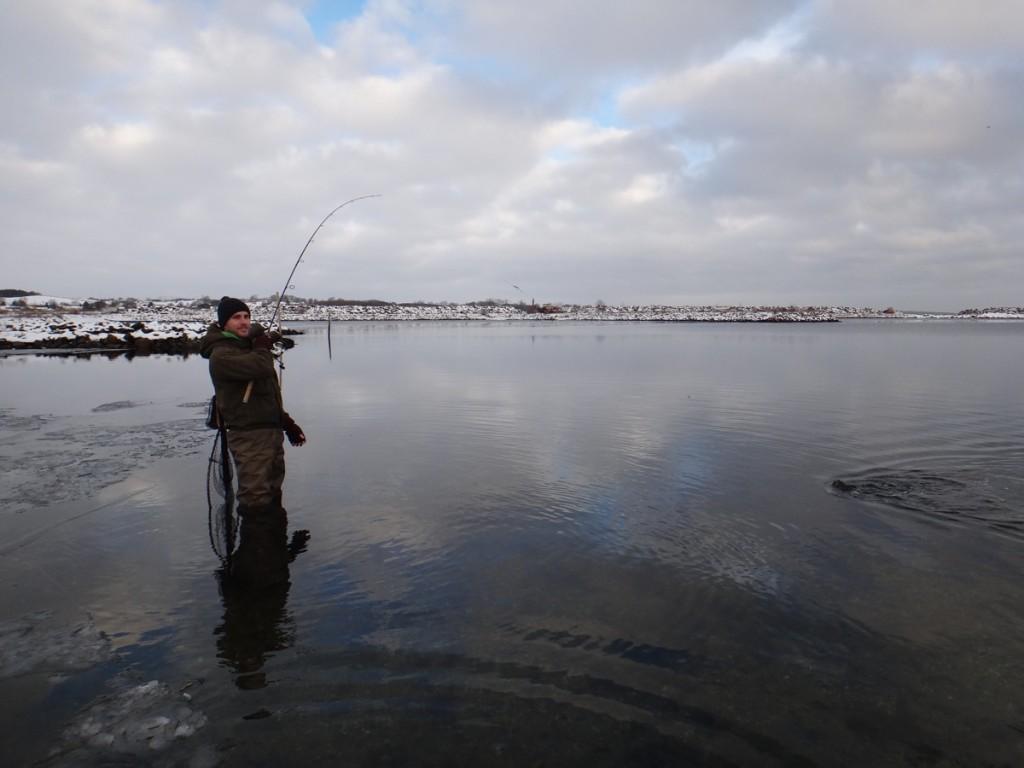 Eine schöne Meerforelle kämpft in einem dänischen Fjord vor den Füßen des Anglers.