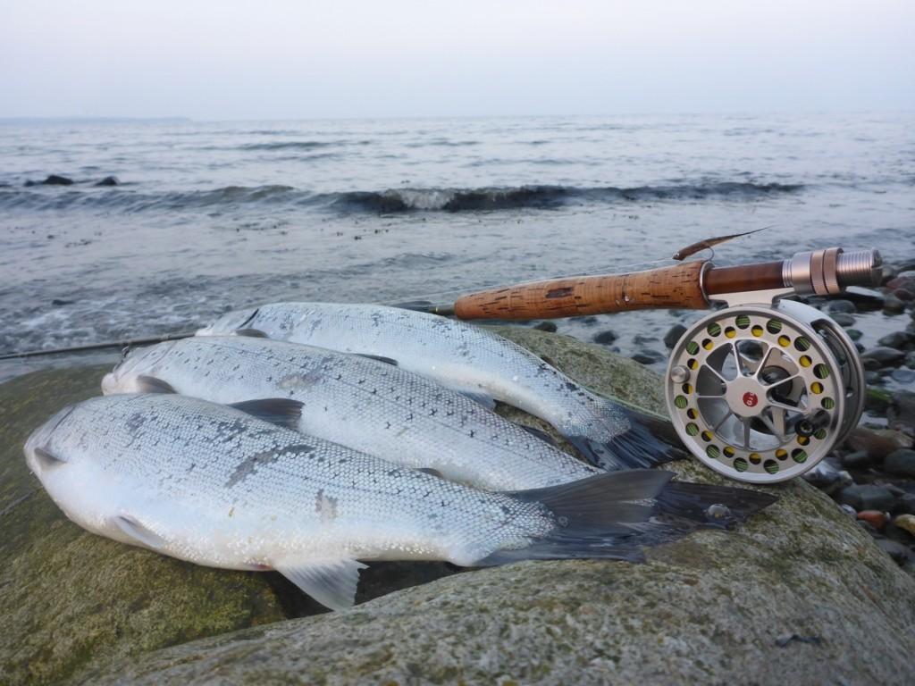Drei schöne Meerforellen von der dänischen Küste.