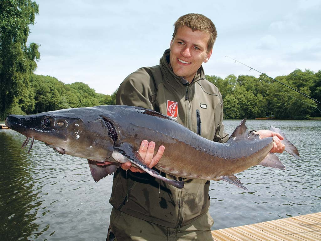 Ein Traumfisch für jeden Angler. Über 100 Kilo schwer können solche Störe werden.