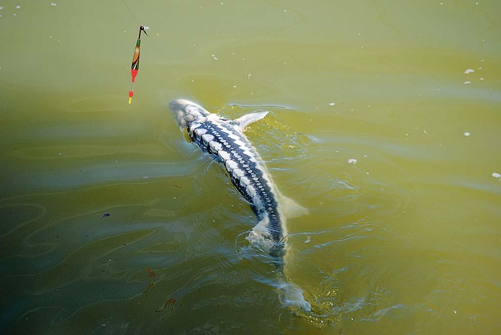 Mit der Pose liegt man bei Stör angeln genau richtig.