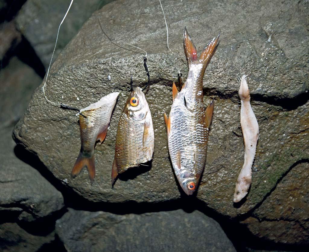 Ob Schwanz-oder Kopfteil sowie ein ganzer Köderfisch. Bei der Wahl der Köderfischteile sind im Herbst keine Grenzen gesetzt. Beim Aufziehen ist eine Ködernadel sehr vom Vorteil.