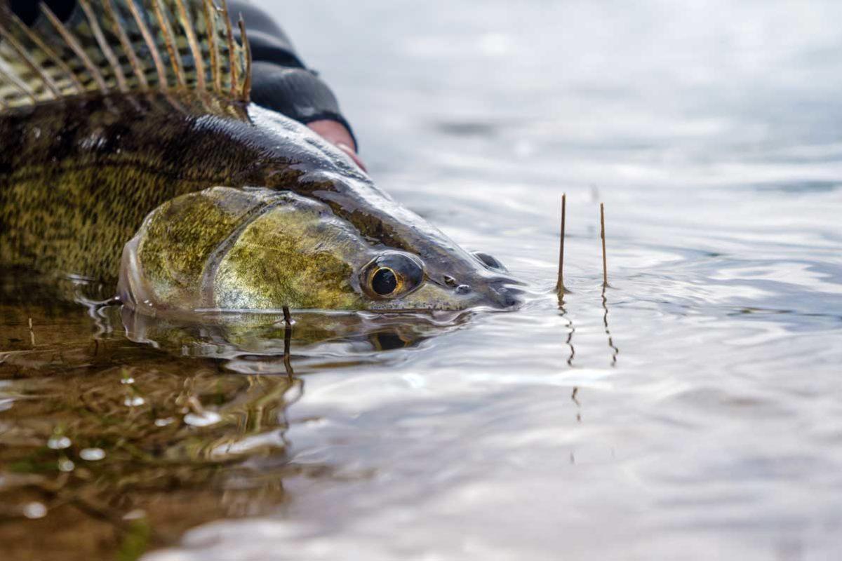 Wie viele Fische sterben nach dem Zurücksetzen, wie viele überleben? Professor Dr. Robert Arlinghaus zeigt, dass dies beim Catch and Release vor allem von der Fischart und den Fangumständen abhängt. Foto: Fotolia