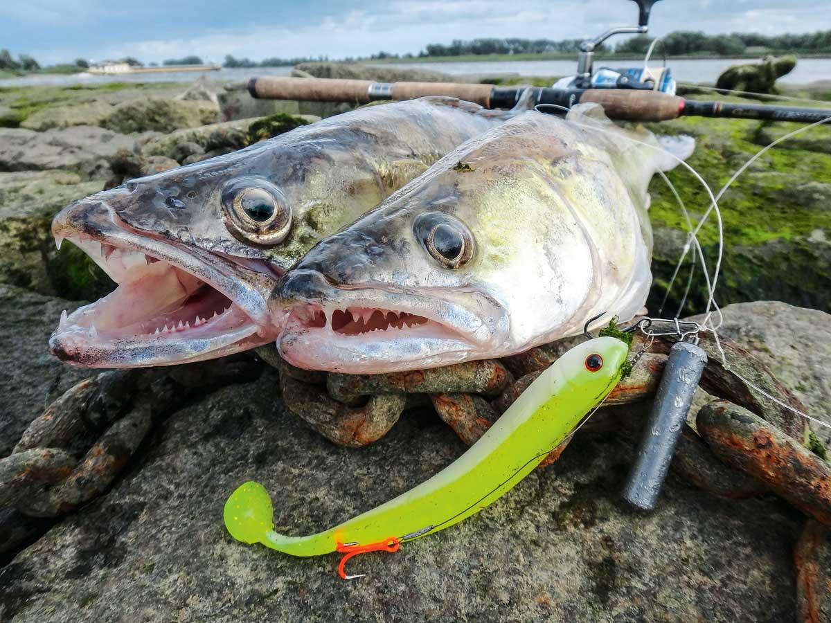 Zwei schöne Zander sind gefangen und werden für die Küche mitgenommen. Foto: R. Schwarzer