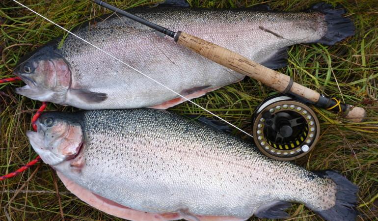 Fetter erfolg beim Fliegenfischen in der Ostsee auf Regenbogenforellen.