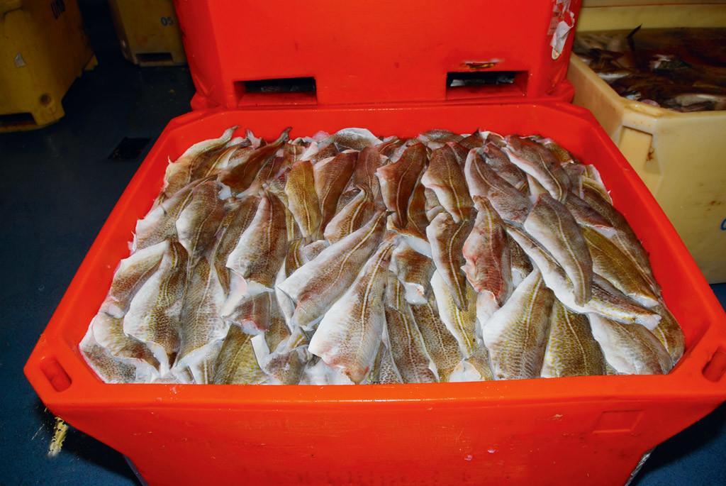 Solche vollen Fangkisten gehören bald durch die Dorsch-Fangquote 2017 der Vergangenheit an.
