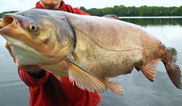 Silberkarpfen gefangen - Santinos Fisch des Lebens