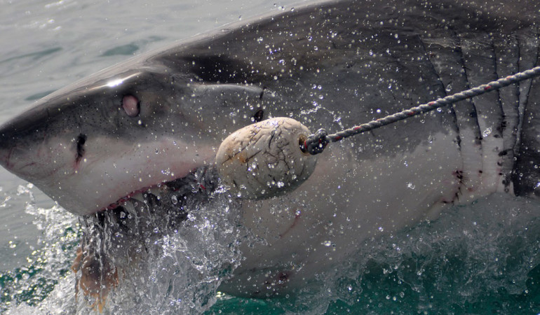 Ein Weißer Hai bei der Fütterung.