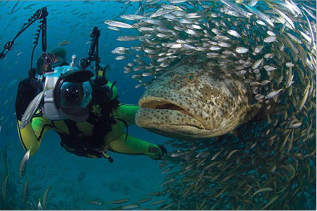 Riesenzackenbarsch ernähren sich neben nicht nur von Fischen, sondern auch von Schildkröten und sogar kleineren Haien.