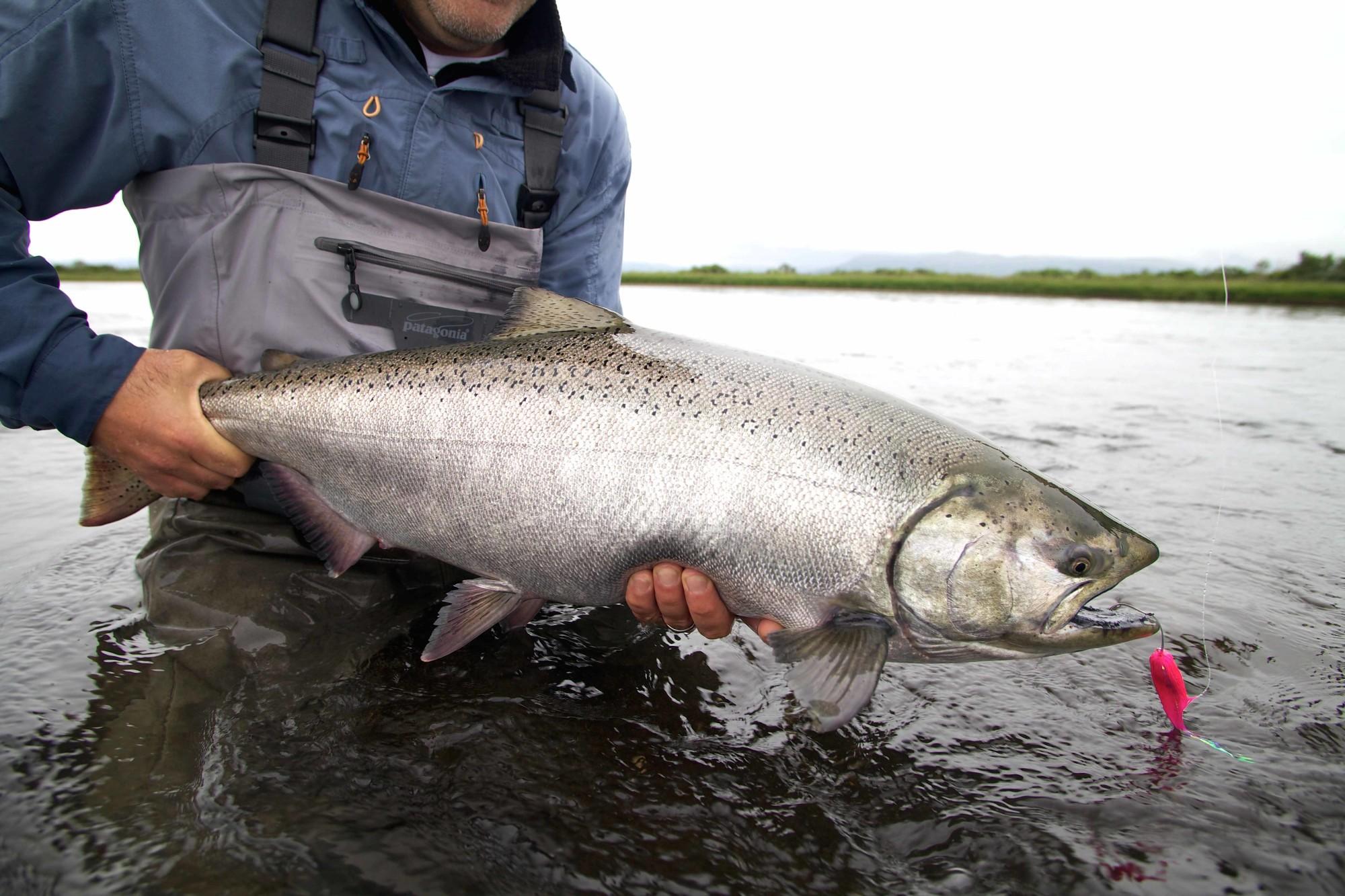 Fliegenfischen auf Königslachs in Alaska - solche Lachse sind beim Fischen auf den Aleuten normal! Foto: M. Werner