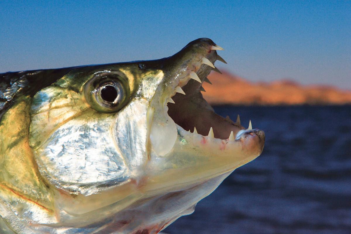 Das Gebiss des Tigerfish ist wohl das markanteste Merkmal an ihm. Das große Maul ist mit nadelspitzen, ineinandergreifenden Zähnen besetzt zwischen den kein Finger geraten sollte. Beim Fliegenfischen auf Tigerfish sollte man daher auch das passende Gerät verwenden, sonst endet der Traum schnell in einem Desaster.