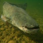 Welse sind die größten Raubfische in deutschen Gewässern. (Symbolfoto) Foto: O. Portrat