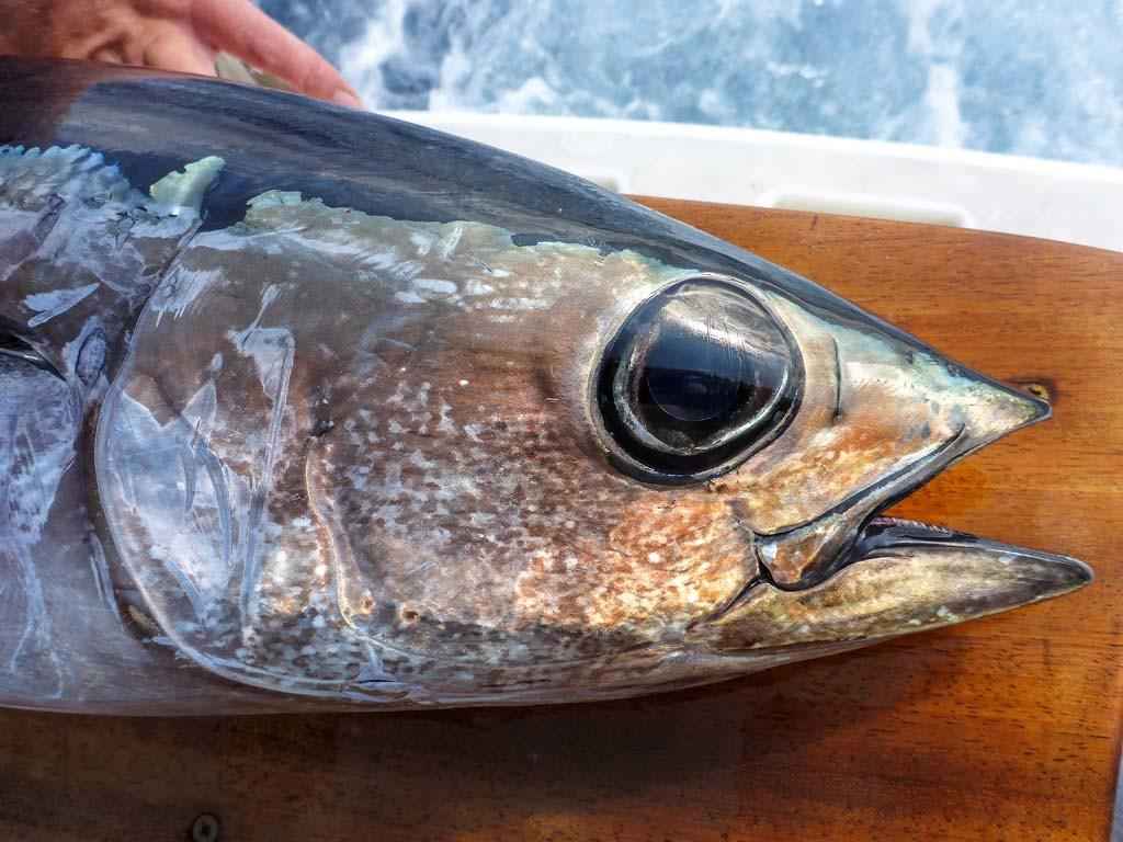 Die großen Augen zeigen, dass der Weiße Thunfisch (Albacore) in größeren Tiefen lebt. Foto: J. Radtke