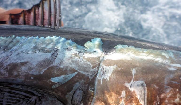 Die perlmuttartige Färbung der Flanken lässt Thunfische mit seiner bläulich-klaren Unterwasser-Umgebung verschmilzen. Foto: J. Radtke