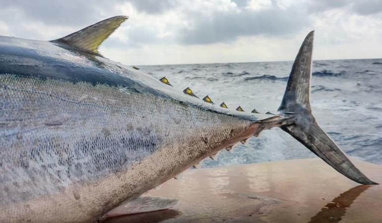Mag die Schwanzflosse auch schmal sein – dieser Antrieb hat es in sich! Die Kraft der Fische ist beeindruckend. Foto: J. Radtke