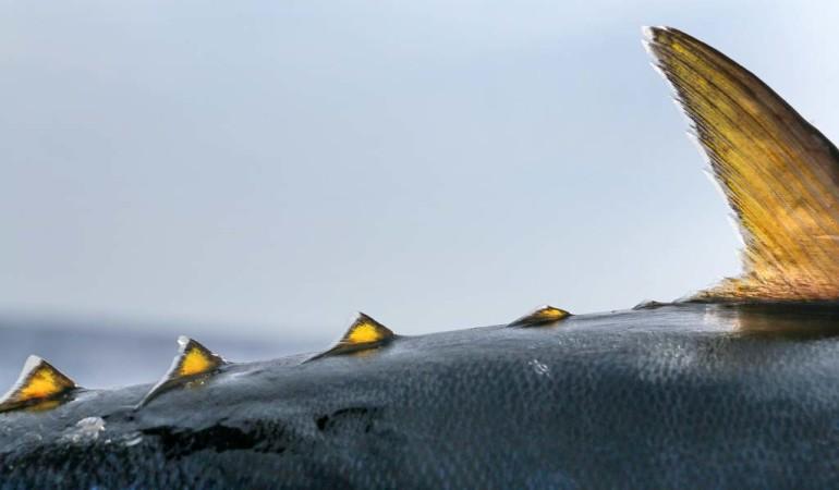 Die Finlets sitzen vor der Schwanzflosse und dienen dazu, dieser mehr Wasser zuströmen zu lassen. Sie sind somit eine Art Turbolader für Thune. Foto: J. Ratke