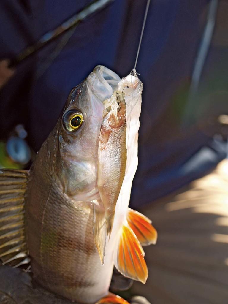 Beim Angeln im Winter sollte man beim aktiven Fischen einen Gang zurückschalten. Foto: Blinker