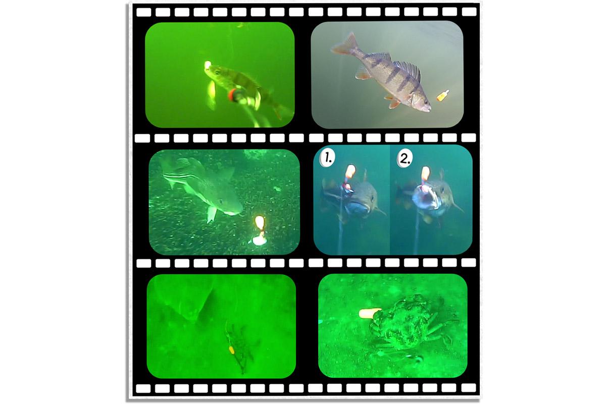 Hier sind spannende Unterwasseraufnahmen mit dem iCapio-Aktivköder. Foto: iCapio