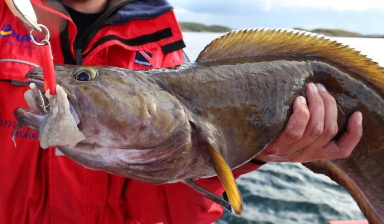 Wer seinen Pilker mit Fischfetzen garniert, erhöht die Chance auf den Fang von Lump und Leng. Foto: D. Figge