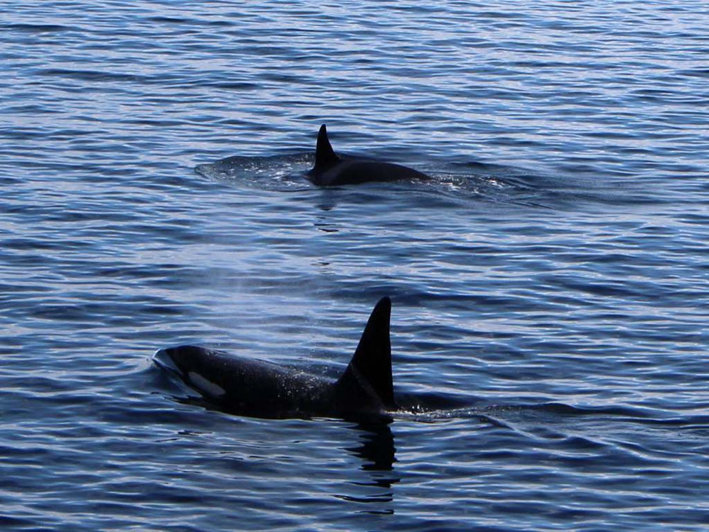 Beobachtet direkt von der Terrasse im Mai die Jagd der Orcas. Foto: Borks