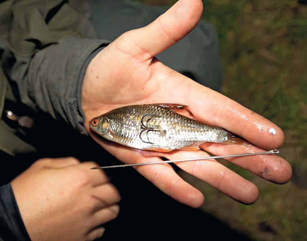 Köderfische zum Zanderangeln lassen sich mithilfe einer Ködernadel optimal aufziehen. Foto:BLINKER