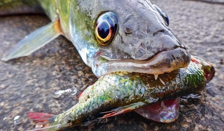 Zanderangeln mit Köderfisch ist einer der effektivsten Methoden, um die scheuen Räuber an den Haken zu bekommen. Foto: AngelWoche