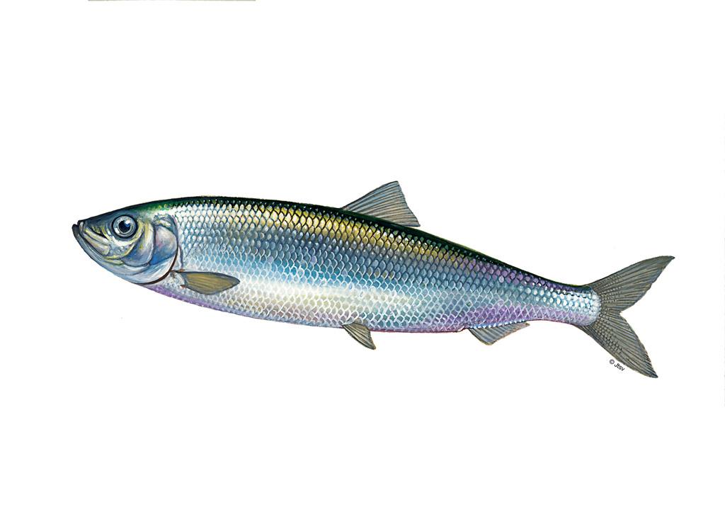 Der Hering ist ein beliebter Fisch bei Anglern und Fischern. Kein Wunder, denn es macht nicht nur Spaß ihn zu fangen, sondern auch zu essen.