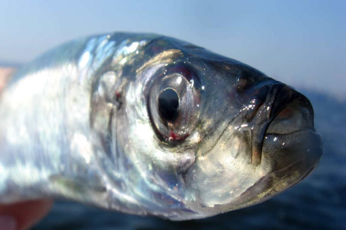 Der Hering zählt mit zu einem der beliebtesten und schmackhaftesten Salzwasserfische bei Anglern. Foto: BLINKER
