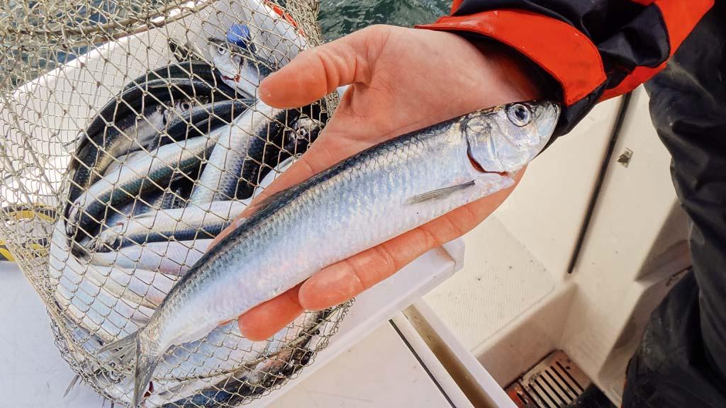 Mit einem Drahtsetzkescher lassen sich Heringe nach dem Fang schnell und einfach entschuppen. Foto: BLINKER/J. Radtke