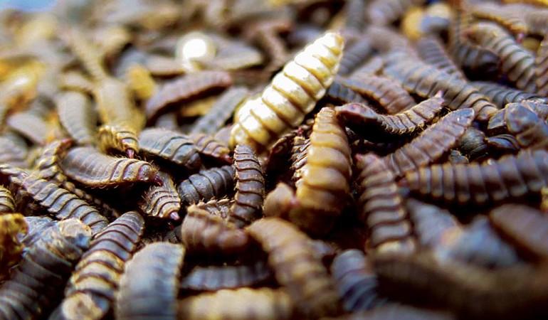 Palmöl-Alternative: Aus den Larven der Soldatenfliege soll Alternativ zu Palmenöl Madenöl hergestellt werden. Foto: BLINKER/R. Schwarzer