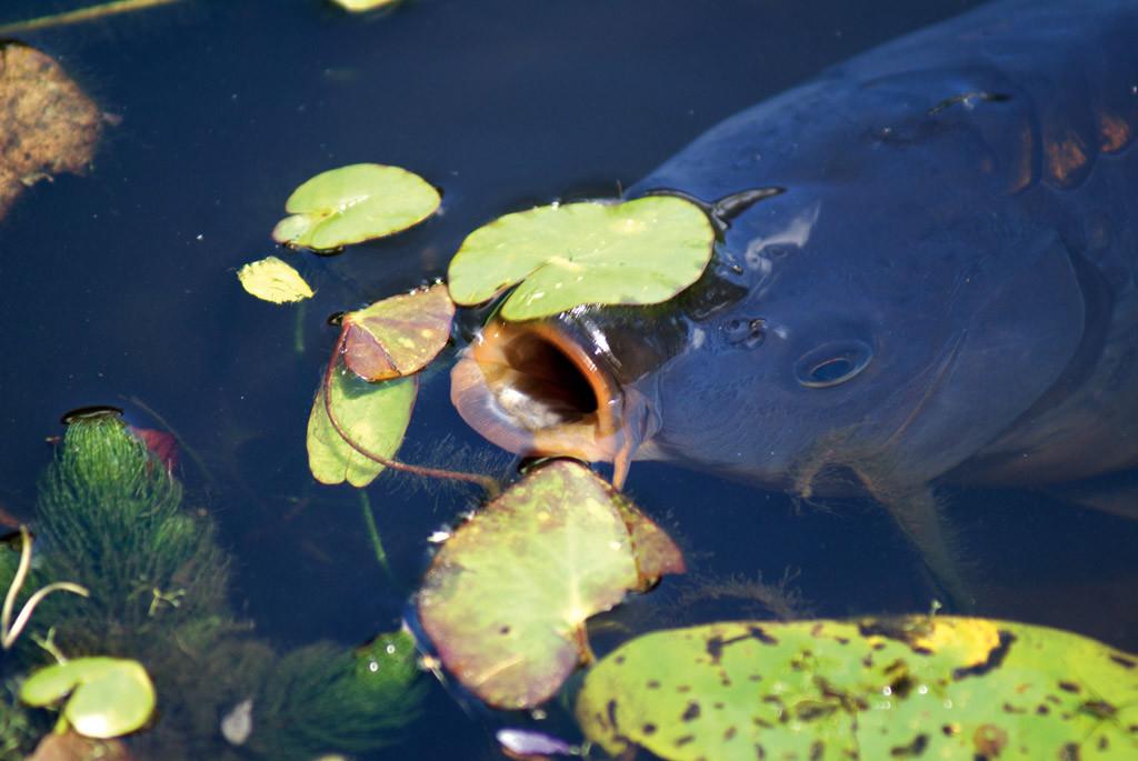 Atmung von Fischen: Darum ersticken die Flossenträger an der Luft