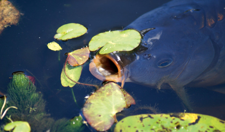 Atmung von Fischen: Dieser Karpfen schnappt an der Oberfläche nicht nach Luft, sondern nach Nahrung. Die Sauerstoffaufnahme findet Unterwasser mittels der Kiemen statt. Foto: BLINKER